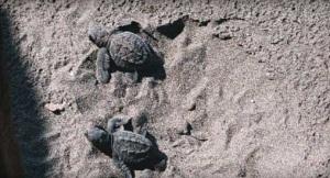 La Cocotera_El Salvador_turtlessand