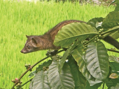 Kopi Luwak-luwak-on-robusta-west-javaweb