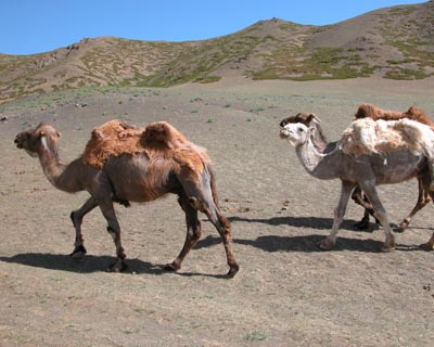 Three Camel Lodge-MONGOLIA-8846-camels-three-camel-lodge-south-gobi-desert-mongolia-