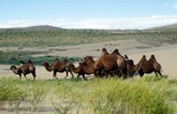 Three Camels-www.threecamels.com-MONGOLIA-Camels 2.JPG