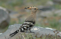 Three Camels-www.threecamels.com-MONGOLIA- hoopoe resized