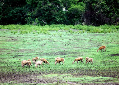 A group of deer grazing at Alas Purwo National Park, East Java.