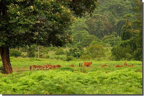 Grazing endangered Javanese Wild Bull, Alas Purwo National Park.