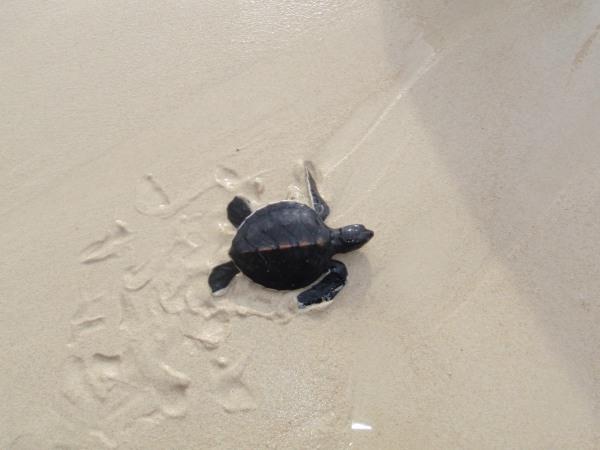 Baby sea turtles ready to re-join the sea. Photo: www.exoticminangkabau.wordpress.com